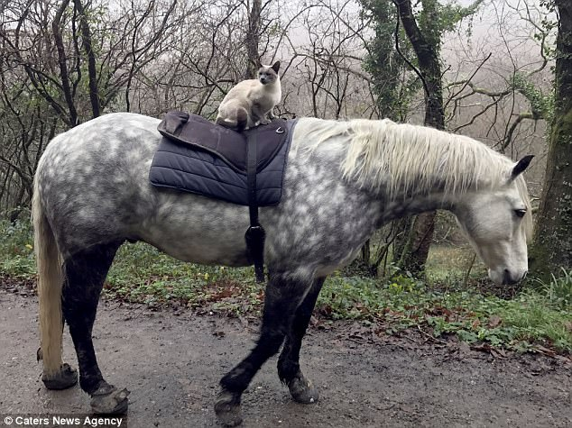 Horse riding Siamese cat Louis and his best friend Comet the pony